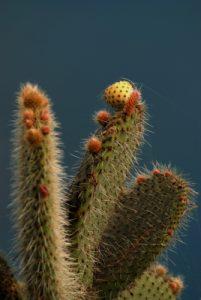 Cactus<br> Point de vue de Cabo Girao<br> Île de Madère