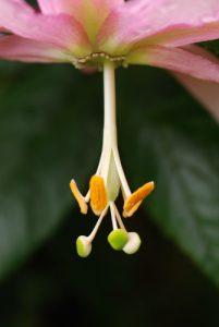 Passiflore (Passiflora tripartita var mollissima)<br> Île de Madère