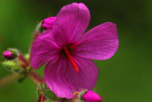 Fleur de Geranium (Geranium palmatum)<br> Levada Folhadal<br> Île de Madère