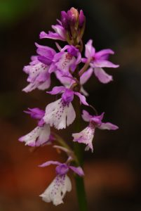 Orchidée du genre Dactylorhiza<br> Levada das Rabacas - Lombo do Mura<br> Île de Madère