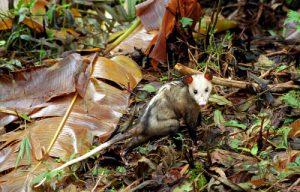 L'Opossum commun ou Manicou (Didelphis marsupialis)<br> La Trace des Jésuites<br> Parc Naturel Régional de La Martinique