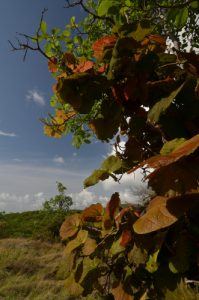 Le Raisinier grandes-feuilles (Coccoloba pubescens) Prequ'île de la Caravelle Île de la Martinique