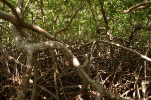 Racines de palétuviers rouges (Rhizophora mangle)<br> Mangrove de la Prequ'île de la Caravelle<br> Île de la Martinique
