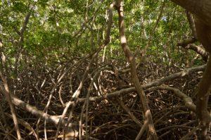 Racines de palétuviers rouges (Rhizophora mangle) Mangrove de la Prequ'île de la Caravelle Île de la Martinique