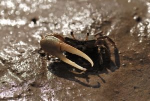 Crabe violoniste des vasières ou Sémafot (Minuca rapax)<br> Prequ'île de la Caravelle<br> Île de la Martinique