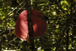 Le Raisinier grandes-feuilles (Coccoloba pubescens) Mangrove de la prequ'île de la Caravelle Île de la Martinique