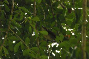 Oiseau<br> Prequ'île de la Caravelle<br> Île de la Martinique