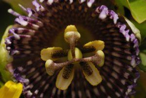 Fleur de la passion ou de Maracuja (Passiflora edulis)<br> Prequ'île de la Caravelle<br> Île de la Martinique