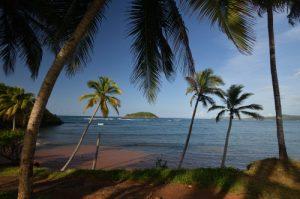 Cocotier (Cocos nucifera) sur la plage d'Anse Luciole<br> Île de la Martinique
