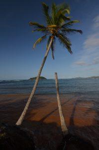 Cocotier (Cocos nucifera) sur la plage d'Anse Luciole Île de la Martinique