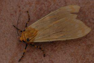 Papillon Île de la Martinique