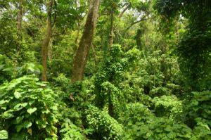 Forêt primitive hygrophile d'Anse à Voile<br> Île de la Martinique