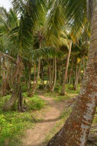 Cocotier (Cocos nucifera) d'Anse Couleuvre<br> Île de la Martinique