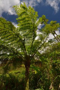 La fougère arborescente (Cyathea arborea)<br> La Montagne Pelée<br> Île de la Martinique