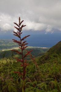 Ananas Sauvage-Montagne (Guzmania plumieri)<br> La Montagne Pelée<br> Île de la Martinique