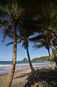Cocotier (Cocos nucifera) sur la plage d'Anse Charpentier Île de la Martinique