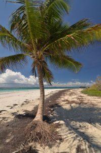 Cocotier (Cocos nucifera) sur la plage d'Anse Trabaud La Trace des Caps Île de la Martinique
