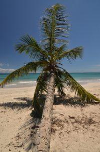 Cocotier (Cocos nucifera) sur la plage de Grande Terre<br> La Trace des Caps<br> Île de la Martinique