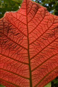 Feuille rouge de Raisinier grandes feuilles (Coccoloba pubescens)<br> Pointe Rouge de la Presqu'île de la Caravelle<br> Île de la Martinique