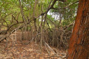 Mangrove de Pointe Rouge<br> Presqu'île de la Caravelle<br> Île de la Martinique