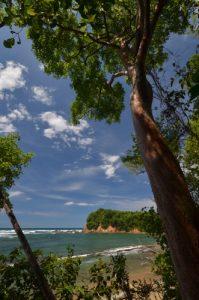 Gommier rouge (Bursera simaruba)<br> Forêt xérophile de Pointe Rouge<br> Presqu'île de la Caravelle<br> Île de la Martinique