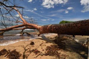 Gommier rouge (Bursera simaruba) couché<br> Forêt xérophile de Pointe Rouge<br> Presqu'île de la Caravelle<br> Île de la Martinique