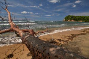 Gommier rouge (Bursera simaruba<br> Forêt xérophile de Pointe Rouge<br> Presqu'île de la Caravelle<br> Île de la Martinique