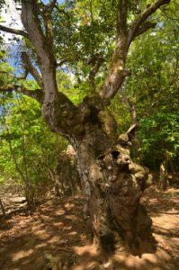 La forêt xérophile de Pointe Rouge<br> Presqu'île de la Caravelle<br> Île de la Martinique