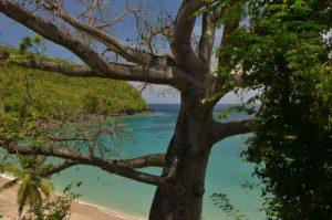 Le Fromager (Ceiba pentandra) Anse Dufour Île de la Martinique