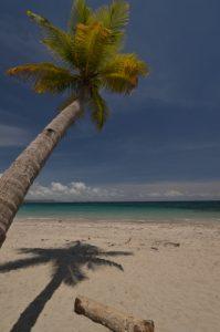 Cocotier (Cocos nucifera) sur la Plage d'Anse Cafard<br> Île de la Martinique
