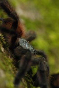 Mygale Matoutou (Avicularia versicolor)<br> Chemin de la Cascade de la rivière Couleuvre<br> Parc Naturel Régional de La Martinique