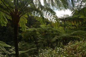 Fougères arborescentes (Cyathea arborea) Forêt primitive du Saut du Gendarme Île de la Martinique