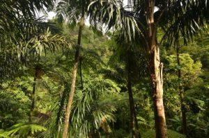 Forêt primitive du Saut du Gendarme Île de la Martinique