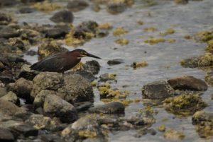 Héron strié (Butorides striata)<br> Anse noire de la Trace des Caps<br> Île de la Martinique