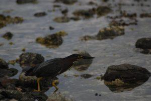 Héron strié (Butorides striata) Anse noire de la Trace des Caps Île de la Martinique