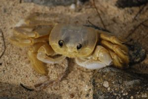 Crabe soleil ou Mal zoreille (Ocypode albicans)<br> Anse Noire sur la Trace des Caps<br> Île de la Martinique