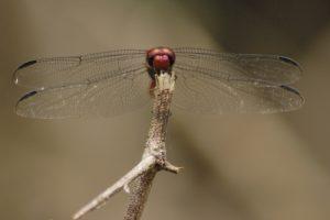 Libellule Orthémis antillais mâle (Orthemis macrostigma) Petite Anse des Salines sur la Trace des Caps Île de la Martinique