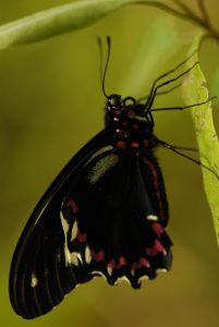 Papillon Trèfle Caraïbe (Battus polydamas xenodamas) Anse Caritan de la Trace des Caps Île de la Martinique
