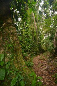 Forêt primitive hygrophile Trace d'Absalon Île de la Martinique