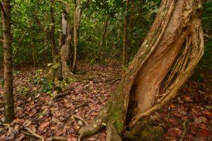 Forêt xérophile d'Anse Bonneville<br> Presqu'île de la Caravelle<br> Île de la Martinique
