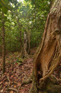 Forêt xérophile d'Anse Bonneville Presqu'île de la Caravelle Île de la Martinique