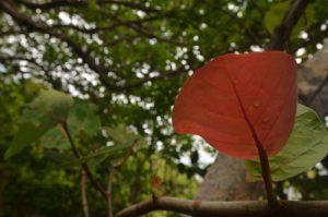 Raisinier bord de mer (Coccoloba uvifera) Forêt xérophile d'Anse Bonneville de la Presqu'île de la Caravelle Île de la Martinique
