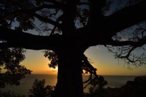 Le Fromager ('Ceiba pentandra)<br> Parc Naturel Régional de La Martinique