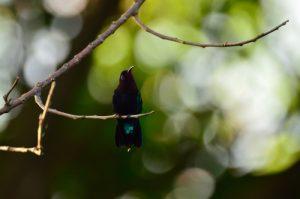 Le Colibri madère (Eulampis jugularis)<br> Parc Naturel Régional de La Martinique
