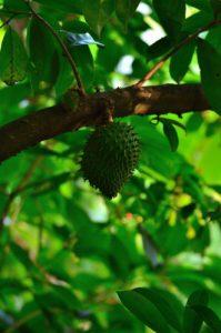 Le Fruit du Corossolier (Annona muricata)<br> Parc Naturel Régional de La Martinique