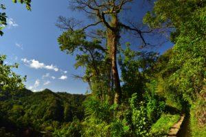 Fromager (Ceiba pentandra) au bord du Canal de Beauregard<br> Parc Naturel Régional de La Martinique