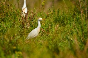 """Le Héron garde-bœufs ou """"Pik boeuf"""" (Bubulcus ibis)<br> Le Canal de Beauregard<br> Parc Naturel Régional de La Martinique"""