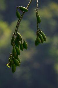 Le fruit du Fromager (Ceiba pentandra)<br> Le Canal de Beauregard<br> Parc Naturel Régional de La Martinique