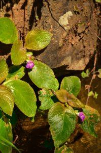 L'Herbe à miel (Nautilocalyx melittifolius) est endémique aux Petites Antilles.<br> Le Canal de Beauregard<br> Parc Naturel Régional de La Martinique