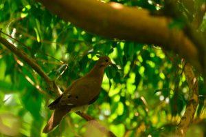 La Tourterelle à queue carrée (Zenaida aurita)<br> Le Canal de Beauregard<br> Parc Naturel Régional de La Martinique